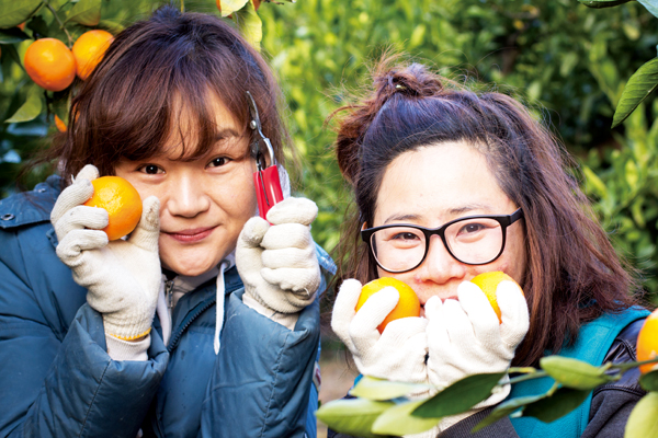 Pick juicy Jeju mandarins for the day!