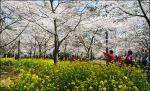 Blossoms to burst forth from March 24